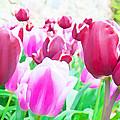 Tulip Delight by Semmick Photo