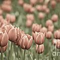 Tulip Field by Frank Tschakert