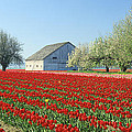 Tulip Field In Washington Stae Usa by King Wu