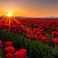 Tulip Fields by Alexis Birkill