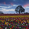 Tulip Field's Last Colors by Wes and Dotty Weber