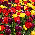Tulip Fields by Tap On Photo
