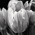 Tulip Flowers Black And White by Jennie Marie Schell