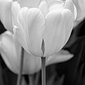 Tulip Flowers In The Garden Monochrome by Jennie Marie Schell