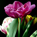 Tulip For Easter by Sharon Talson