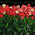 Tulip Forest by David Resnikoff