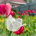 Tulip Garden by Michael Goyberg