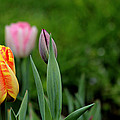 Tulip Glory by Jeanette C Landstrom
