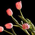 Tulip Happy by La Rae  Roberts