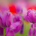 Tulip by Joseph Bowman