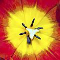Tulip Nucleus by Hal Halli