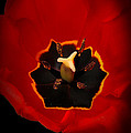 Tulip On Black by Mike Nellums
