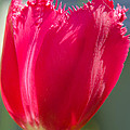 Tulip On The Gray Background by Michael Goyberg