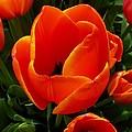 Tulip Orange Flower by Susan Garren