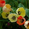 Tulip Parade by Les Scarborough