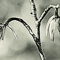 Tulip Poplar Empty Seed Heads - Black And White by Mother Nature