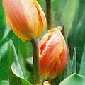 Tulip Quartet by Francesa Miller