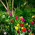 Tulip Rainbow by Frank J Casella