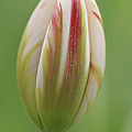 Tulip Red And White In Spring by Matthias Hauser