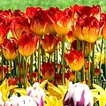 Tulip Stand In Mount Vernon Washington by Tap On Photo