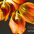Tulip Study 2 by Jeanette French