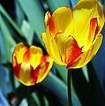 Tulip Sun Burst by Jannice Walker