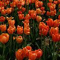 Tulip Time by Caroline Stella