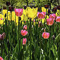 Tulip Time Pink Yellow Black Beauty by LeeAnn McLaneGoetz McLaneGoetzStudioLLCcom