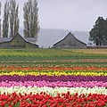 Tulip Town Barns by Louise Magno