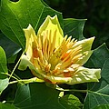 Tulip Tree by Kathryn Meyer