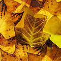 Tulip Tree Leaves In Autumn by Vishwanath Bhat