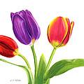 Tulip Trio by Sarah Batalka