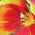 Tulip Warm Tones by Sandi OReilly
