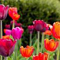 Tulips   by John McGraw