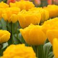 Tulips 29 by Ingrid Smith-Johnsen