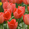 Tulips 33 by Ingrid Smith-Johnsen