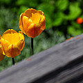 Tulips 5987 by Jerry Sodorff
