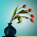 Tulips 6 by Mark Ashkenazi