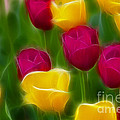 Tulips-6768-fractal by Gary Gingrich Galleries