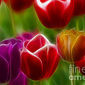Tulips-7022-fractal by Gary Gingrich Galleries