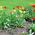 Tulips  by Aimee L Maher ALM GALLERY