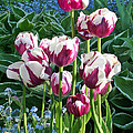 Tulips Among The Forget Me Nots by Barbara McMahon