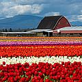 Tulips And Barn by Bob Stevens