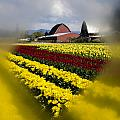 Tulips And Barn by Irene  Theriau