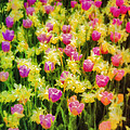 Tulips And Daffodils by Jill Balsam