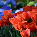 Tulips And Hydrangeas by Jeanne May