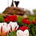 Tulips Ani Tsalagi by Sennie Pierson