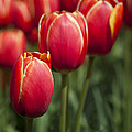 Tulips by Anna Lysa