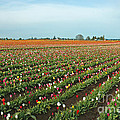 Tulips As Far As The Eye Can See by Nick  Boren