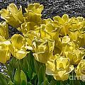 Tulips At Dallas Arboretum V23 by Douglas Barnard